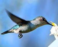 Fauna: Bee Hummingbird (Zunzun)