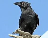 Fauna: Cuban Palm Crow