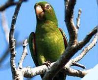 Fauna: Cuban Parakeet,