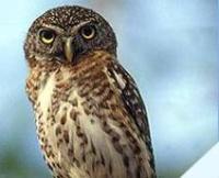Fauna: Cuban Pygmy-Owl,