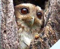 Fauna: Cuban Screech-Owl,