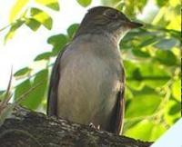 Fauna: Cuban Solitaire,