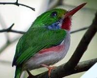 Fauna: Cuban Tody,