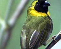 Fauna: Cuban Grassquit,