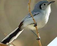 Fauna: Cuban Gnatcatcher