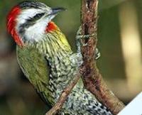 Fauna: Cuban Green Woodpecker