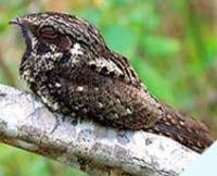 Fauna: Cuban Nightjar