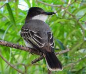 Fauna: Giant Kingbird