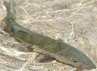 Fishing: Bonefish or Macabi