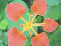 Flora: B. galpinii - Bauhinia roja, Jardin Botanico