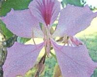 Flora: B. Purpurea - Pata de Vaca, Jardin Botanico