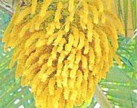 Flora: Acromia Crispa - Corojo, Jardin Botanico