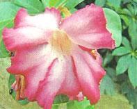 Flora: Adenium Obesum - Rosa del Desierto, Jardin Botanico