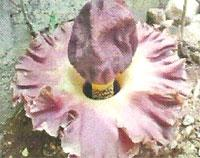 Flora: Amorphopallus Campanulatus - Name de Elefante, Jardin Botanico