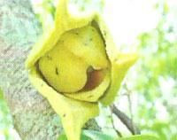 Flora: Annona Muricata - Guanabana