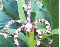 Flora: Aracnis Flos aeris - Orquidea Arana