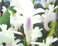 Flora: Aerides Virens ellisii - Aerides