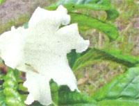 Flora: Beaumontia Murtonii - Trompeda del Heraldo