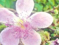 Flora: Bixa Orellana - Bija