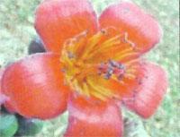 Flora: Bombax Ceiba - Ceiba Roja
