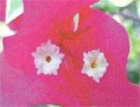 Flora: Bouganvillea spectabilis - Flor de Papel