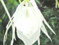 Flora: Brassavola Nodosa - Brassvola