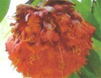 Flora: Brownea Coccinea - Frijol de llama Escarlata