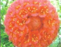 Flora: B. Grandiceps- Rosa de Venezuela