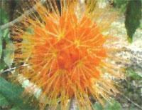 Flora: B. Macrophylla - Llama de Panama