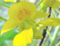 Flora: Caesalpina Pulcherrima - Orgullo de Barbados