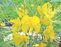 Flora: C. Mexicana - Flamboyan Enano