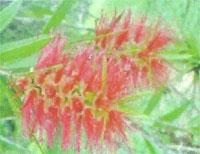 Flora: Callistemon Speciosus - Limpia Botella