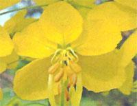 Flora: Cassia Fistula - Canafistula