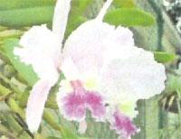Flora: Catleya Leudemaniana - Orquidea Morada