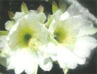 Flora: Cereus Hildmannianus - Cactus de Ceto
