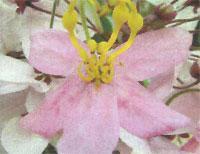 Flora: Conyea Tomentosa - Lluvia de Orquideas