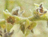 Flora: Copernicia Brittonorum - Jata Spinosa