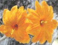 Flora: Cordia Dodecandra - Ziricote