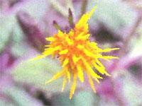 Flora: Gynura Sarmentosa - Gynura