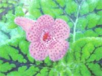 Flora: Koheleria Amabilis - Koheleria