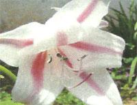 Flora: Crinum Scabrum - Leche y Vino