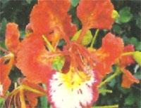 Flora: Delonix Regia - Flamboyan