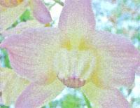 Flora: Dendrobium Fimbriatum - Dendrobium