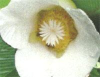 Flora: Dillenia Indica - Manzana de Elefante