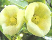 Flora: Diospyros Ebenum - Ebano Negro